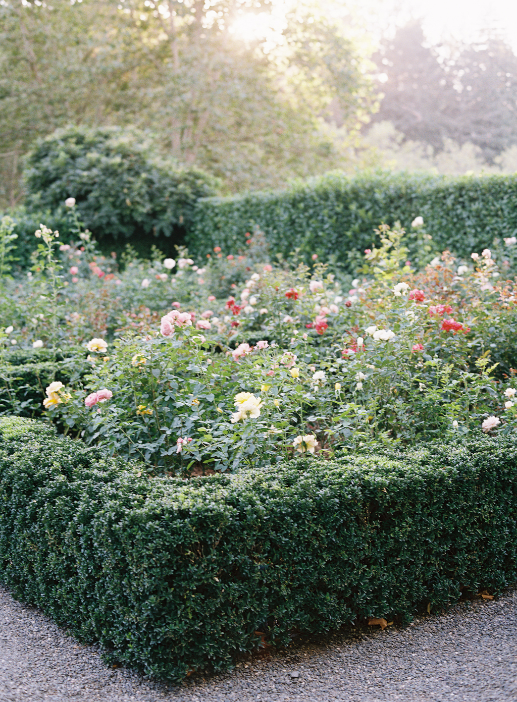 the beautiful rose garden at beaulieu gardens glows in the sunset light